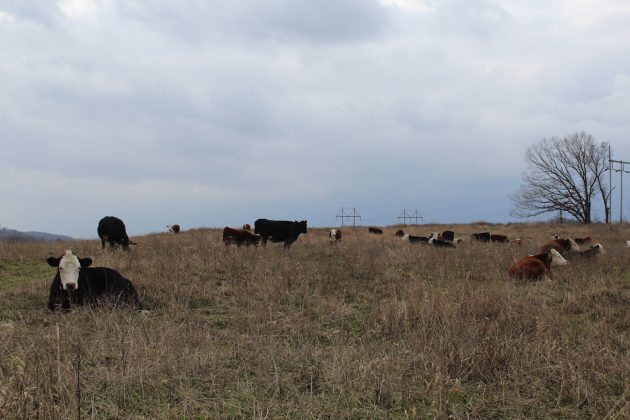 cows on a hilltop in Clarion