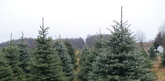 Christmas trees on a farm.