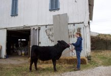 A girl holds a halter and stands in front of a black market steer.