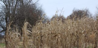 standing corn in field in winter
