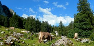 Brown Swiss cows in Switzerland