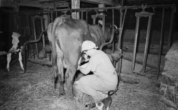 Enos Royer farm, Lancaster County, Pennsylvania. Mrs. Royer milking