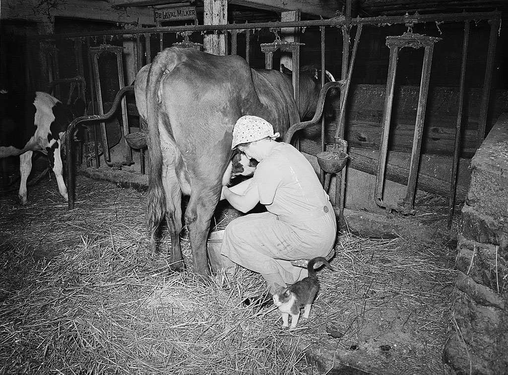 Woman milking a cow at a Lancaster dairy in 1938
