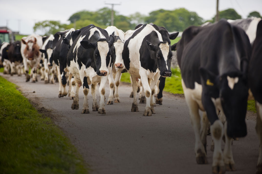 Cows being led to the slaughterhouse.