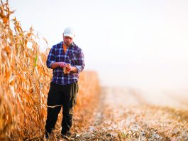 A young farmer examines corn seed in a corn field.