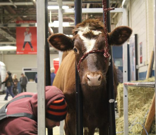man clips cow at farm show