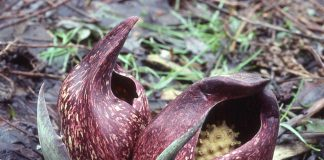 Skunk cabbage in full bloom. (Ohio State University photo)
