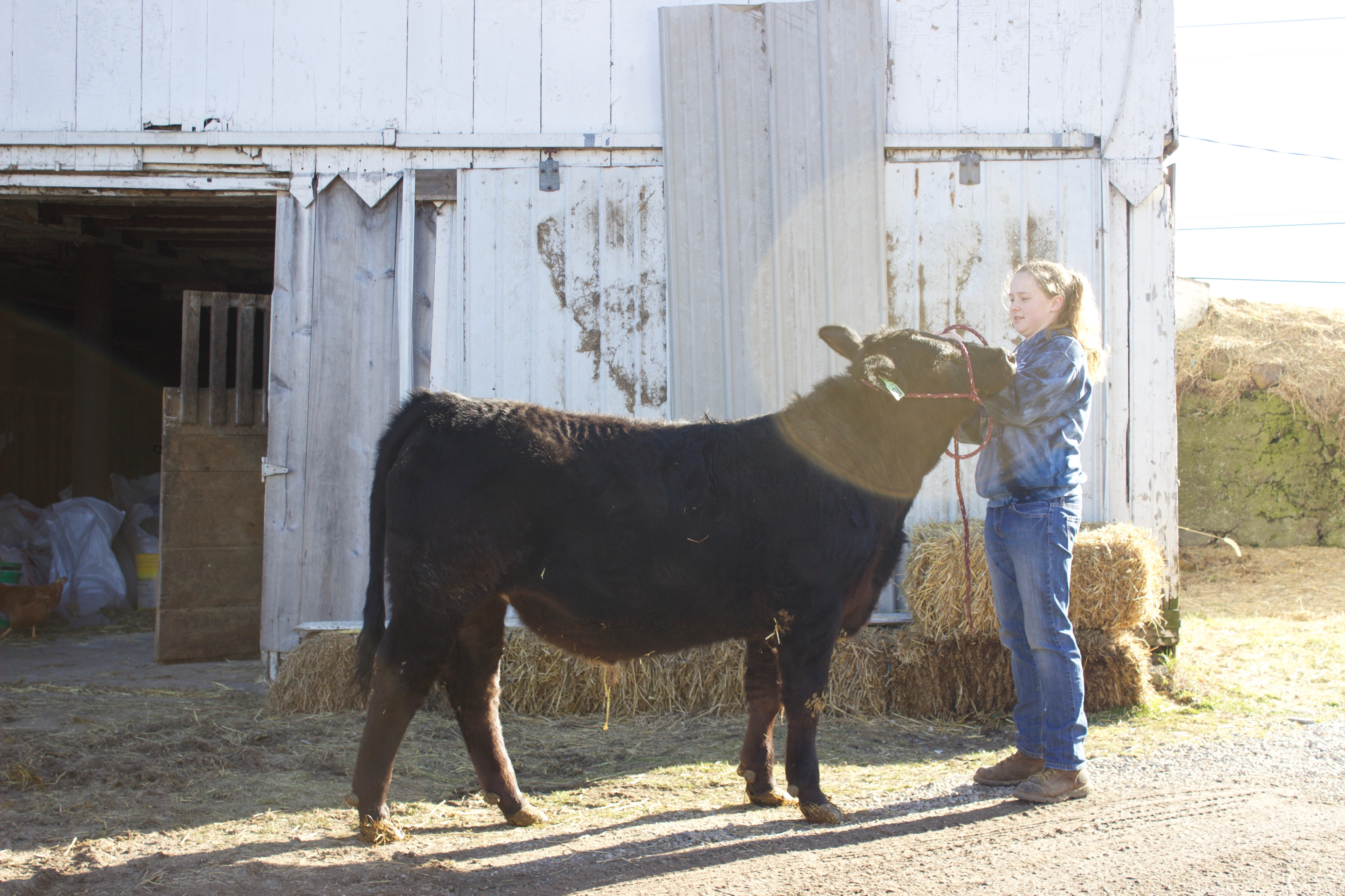 A girl stands with a steer