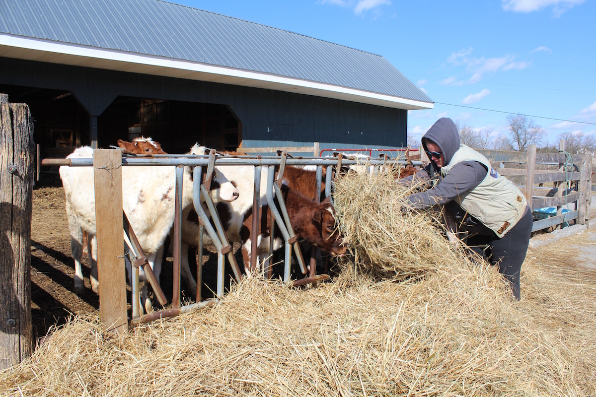 woman giving hay to heifers