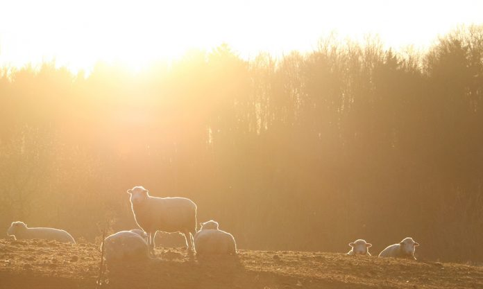 sheep and sunset