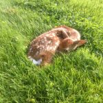 fawn laying down