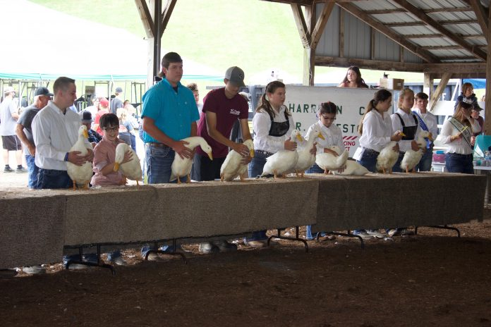 4-H'ers stand behind a table with their market ducks in a show ring.