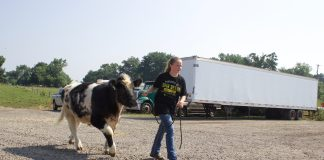 A girl walks a beef steer.