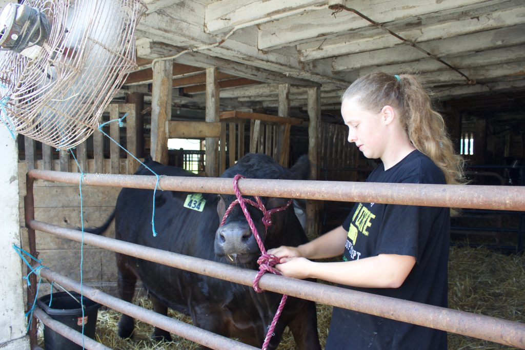 A girl ties a steer's halter to a fence next to a fan.