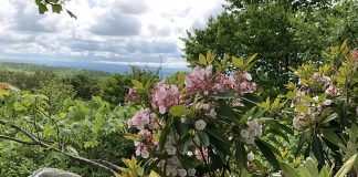 Mountain laurel
