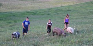 kids walking pigs