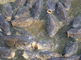 The Linesville Spillway is home to ravenous carp. (Julie Geiss photo)