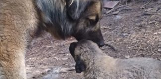 livestock guardian dog and puppy