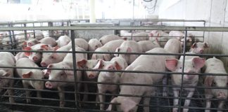 pigs in a nursery