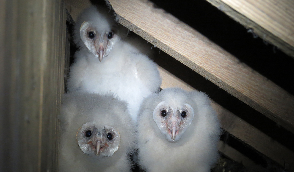 Changes In Ag Lead To Decline Of Barn Owls Farm And Dairy