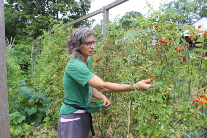 A woman picks cherry tomatoes.