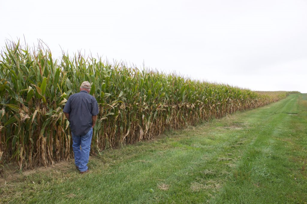 A man in jeans and a collared shirt, facing away from the camera, walks next to a field of corn.
