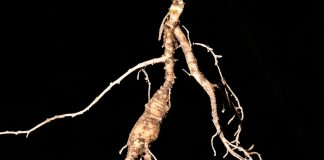 gingseng root