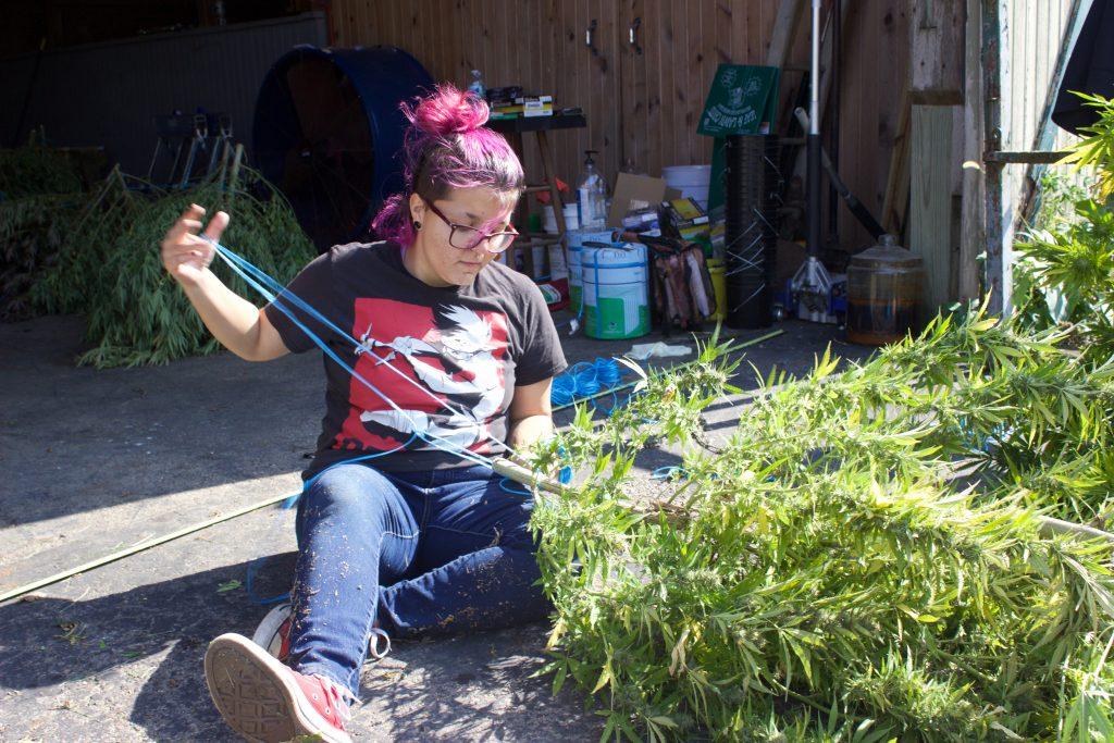 A young woman with purple hair sits on the ground and ties hemp plants together with twine.