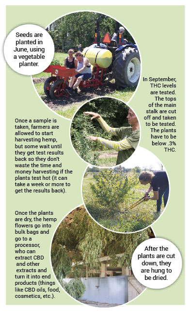 A graphic showing the stages of growing hemp from planting, to harvesting, to sending the flowers to a processor.