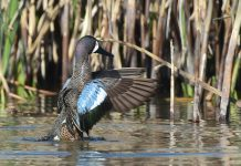 blue-winged teal duck