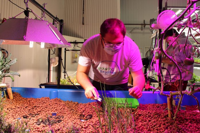 man harvesting chives from aquaponics