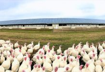 turkeys and solar panels