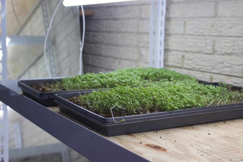 Two trays of microgreens sit on a shelf in a basement.