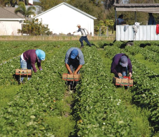 migrant workers pick strawberries