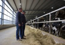 Two men stand in a barn in front of a pen of Holstein cows.