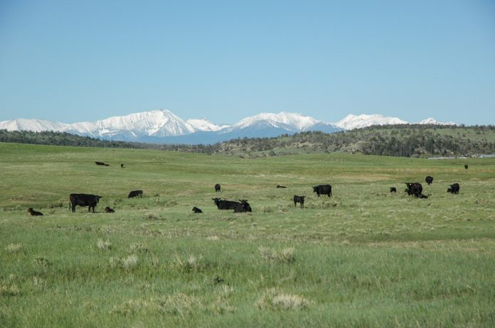 cattle in a pasture