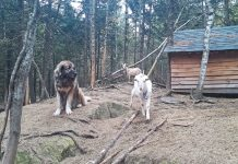 livestock guardian dog goats