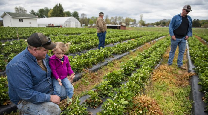 Farmers look over the strawberry crop on their farm.