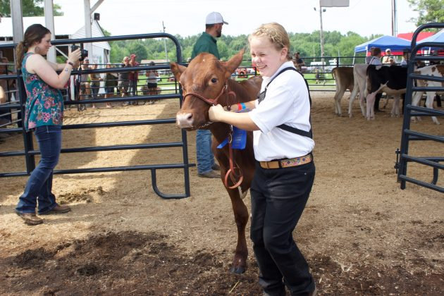 A girl walks her dairy heifer out of a show ring at a fair.
