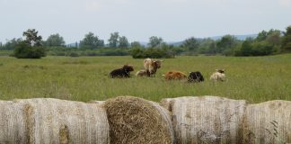 cattle and bales of hay on pasture